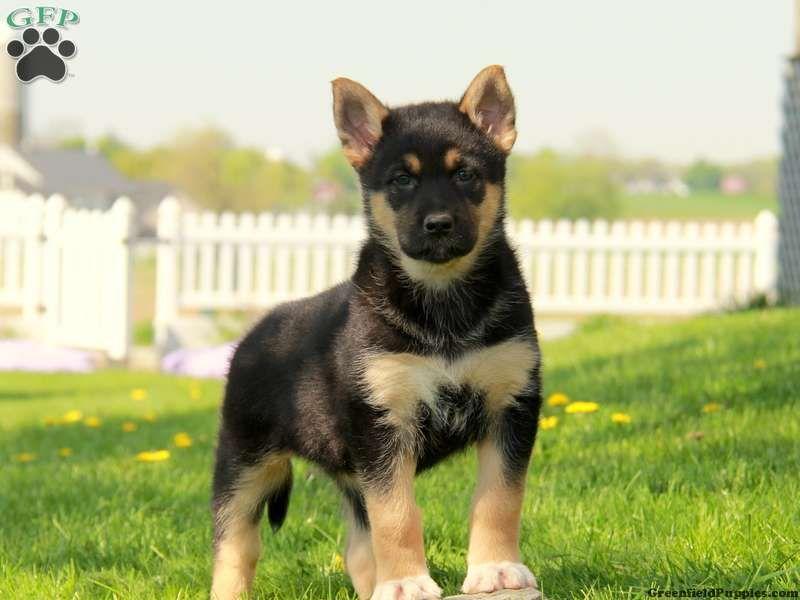Meet Simona A Beautiful German Shepherd Mix Puppy For Sale In Pa