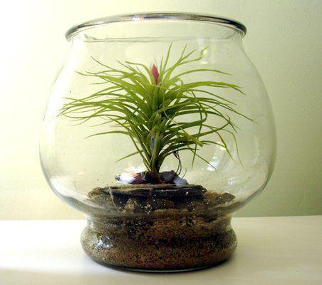 Fish bowl terrarium repurposed bowl containing tillandsia for Fish bowl plants