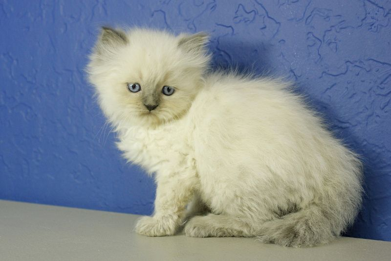 Prince Charming Blue Point Ragamuffin Cat Kitten From Www