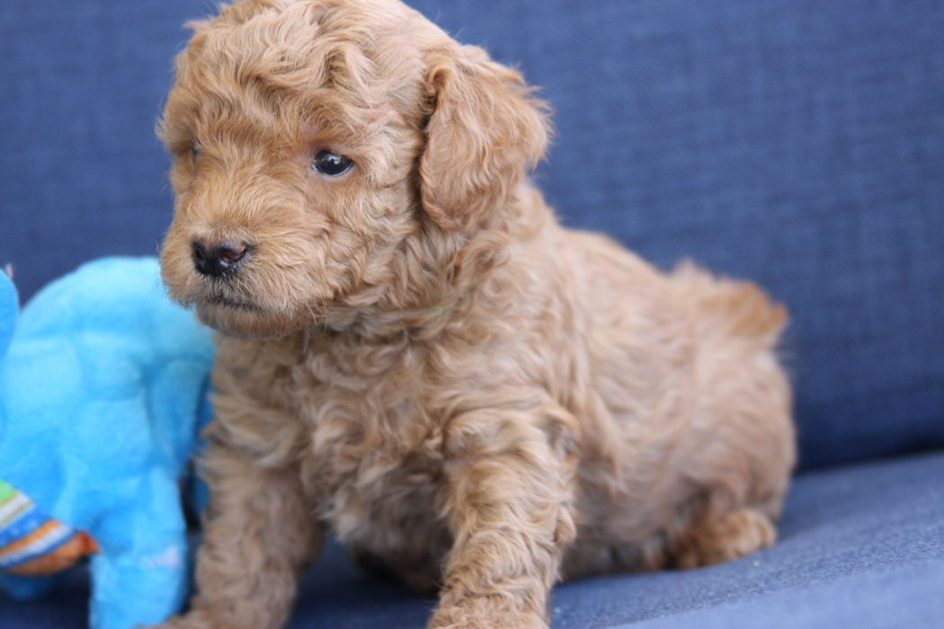 Teacup Goldendoodle (F2B) family friendly and only 6-10 lbs