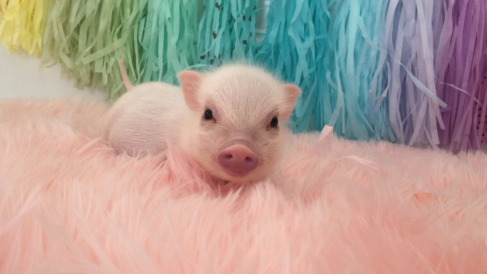 Baby pig swims in a sea of pink fur!!