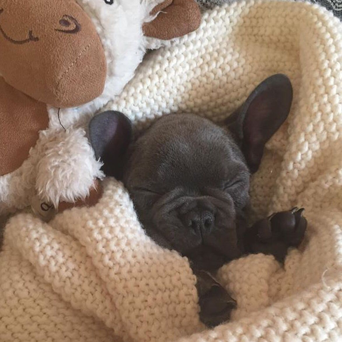 Shhh The Baby S Sleeping Blue French Bulldog Puppy Blue