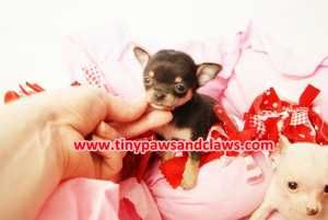 Free Teacup Puppies In Texas Teacup Chihuahua Puppies For Sale