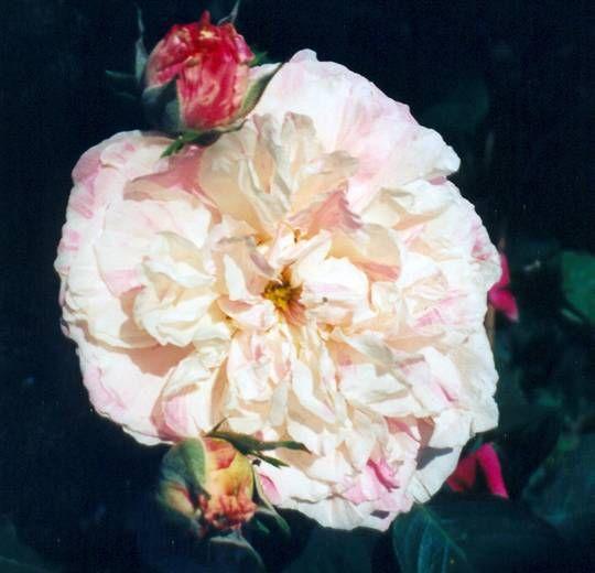 Rosa centifolia Variegata