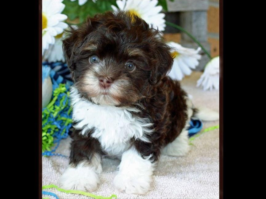 Havanese Puppy Brown And White Havanese Puppies Havanese Dogs