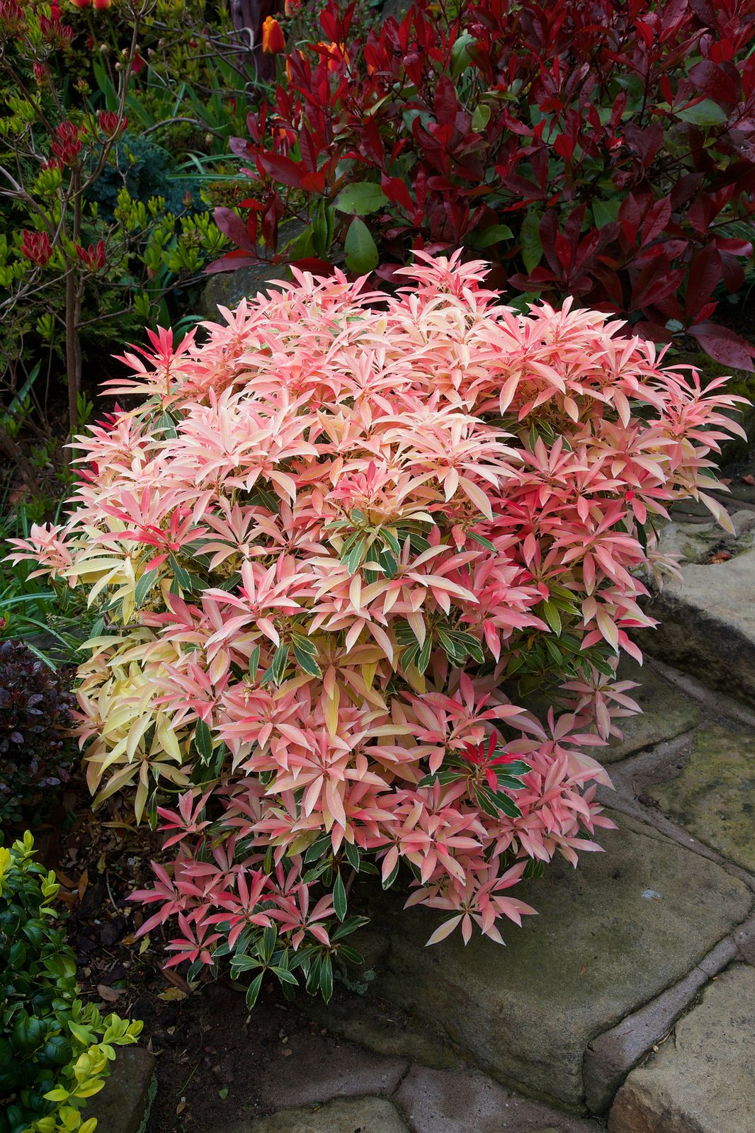foliage colours of pieris japonica 39 flaming silver 39 in. Black Bedroom Furniture Sets. Home Design Ideas