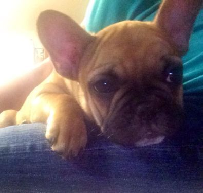 Akc French Bulldog Puppies For Sale French Bulldog Puppies