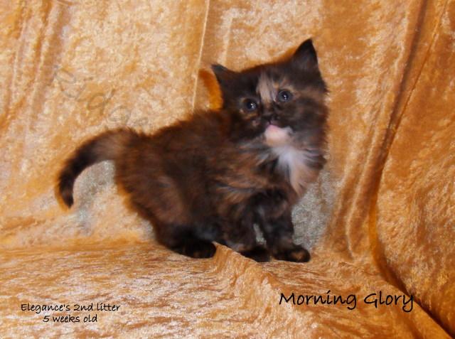 Ridgeviewsrags Com Cute Cats And Kittens Cuddly Animals Ragdoll Kitten