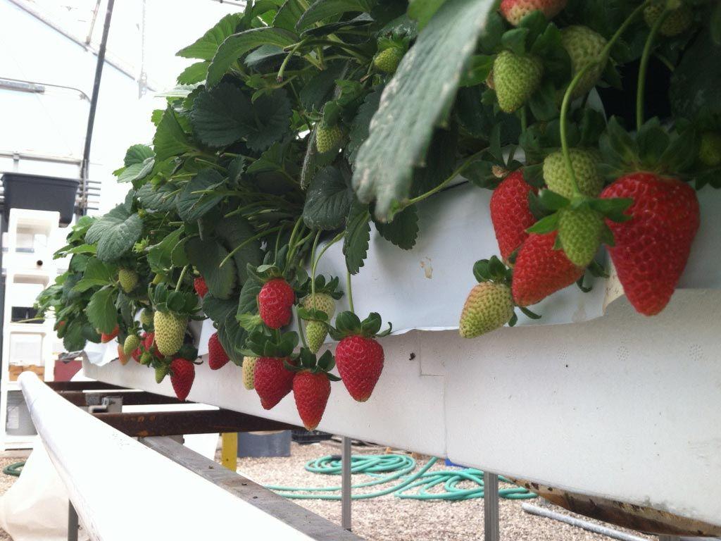 Технология фриго при выращивании клубники