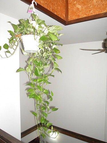 Indoor Money Plant Indoor Plants That Purify Air In Living Spaces Best Indoor Hanging Plants Hanging Plants Indoor Hanging Plants