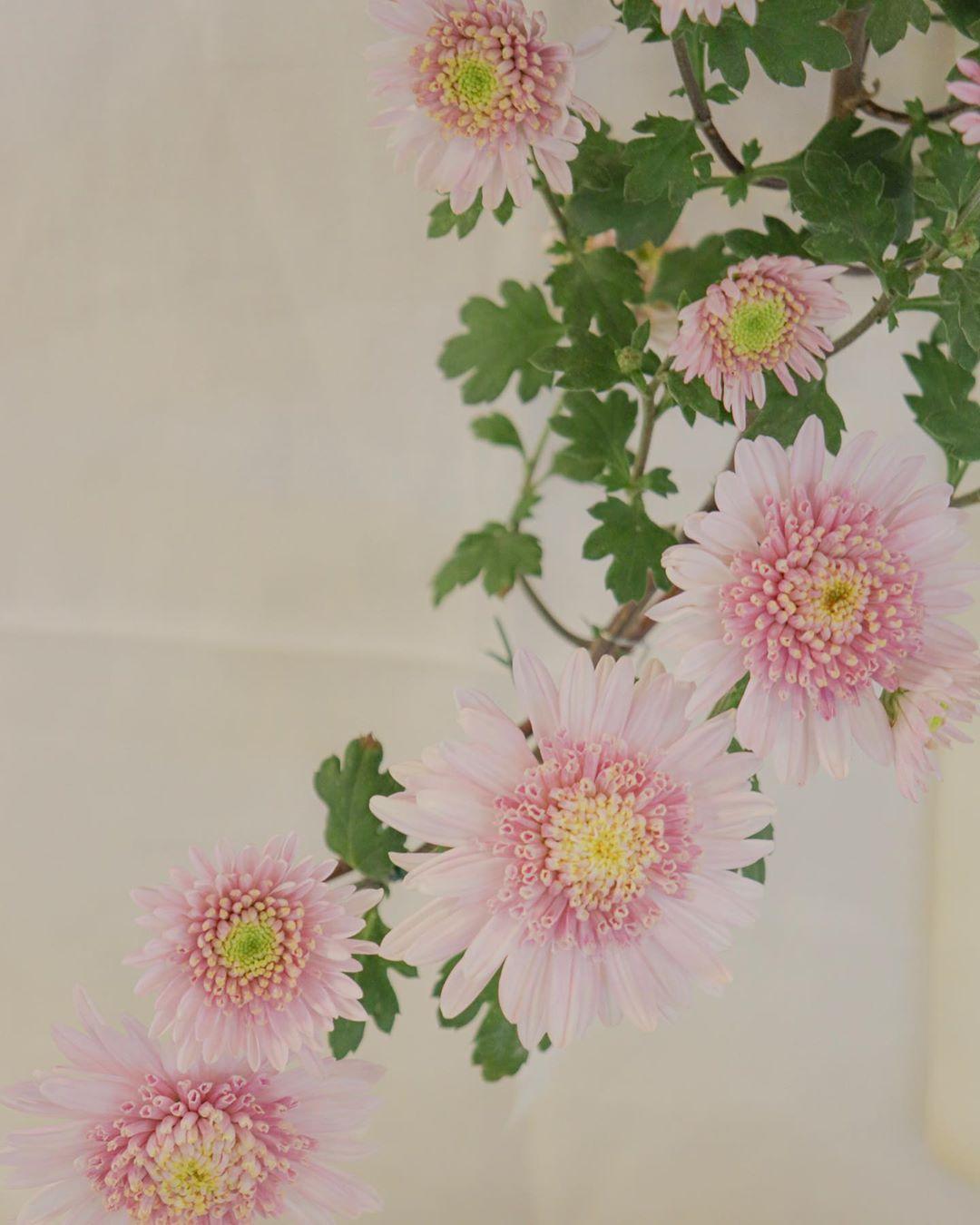 ・ 今日も菊です🌼 小さい花たちです ・ 白い布の折り目が…😂 ・ ・  canon EOS kiss X9i ・ ・ #カメラ日本の輪 #北海道ミライノート #東京カメラ部 #Hokkaidolikers #Hokkaidolabo #hokkaido_life #my_eos_photo #daily_photo_japan #lovers_nippon #photo_jpn #japan_daytime_view #team_jp #japan_photo_now #japan_bestpic #explorejapan #jalan_travel #pooloftime #haveanicephoto #flowerstagram  #flowerphotography  #flowerpic  #flower_beauties_  #flowers_shotz  #chrythesanmum