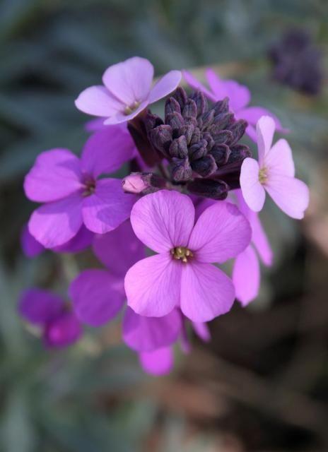 Purple Perennial Flower Identification Annotate