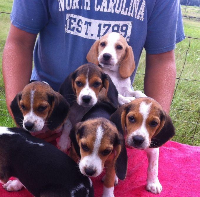 Akc Beagle Puppies 10 Wks Old Beagle Puppy Beagle Puppies