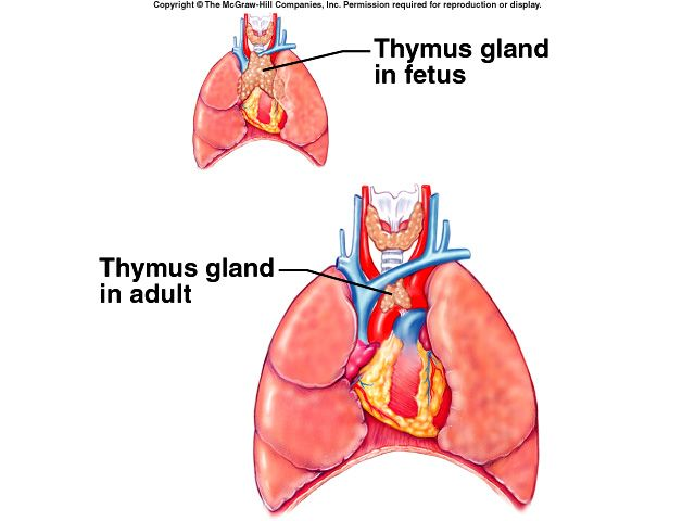 The Thymus Gland Located Near The Heart In The Thoracic Cavity Is