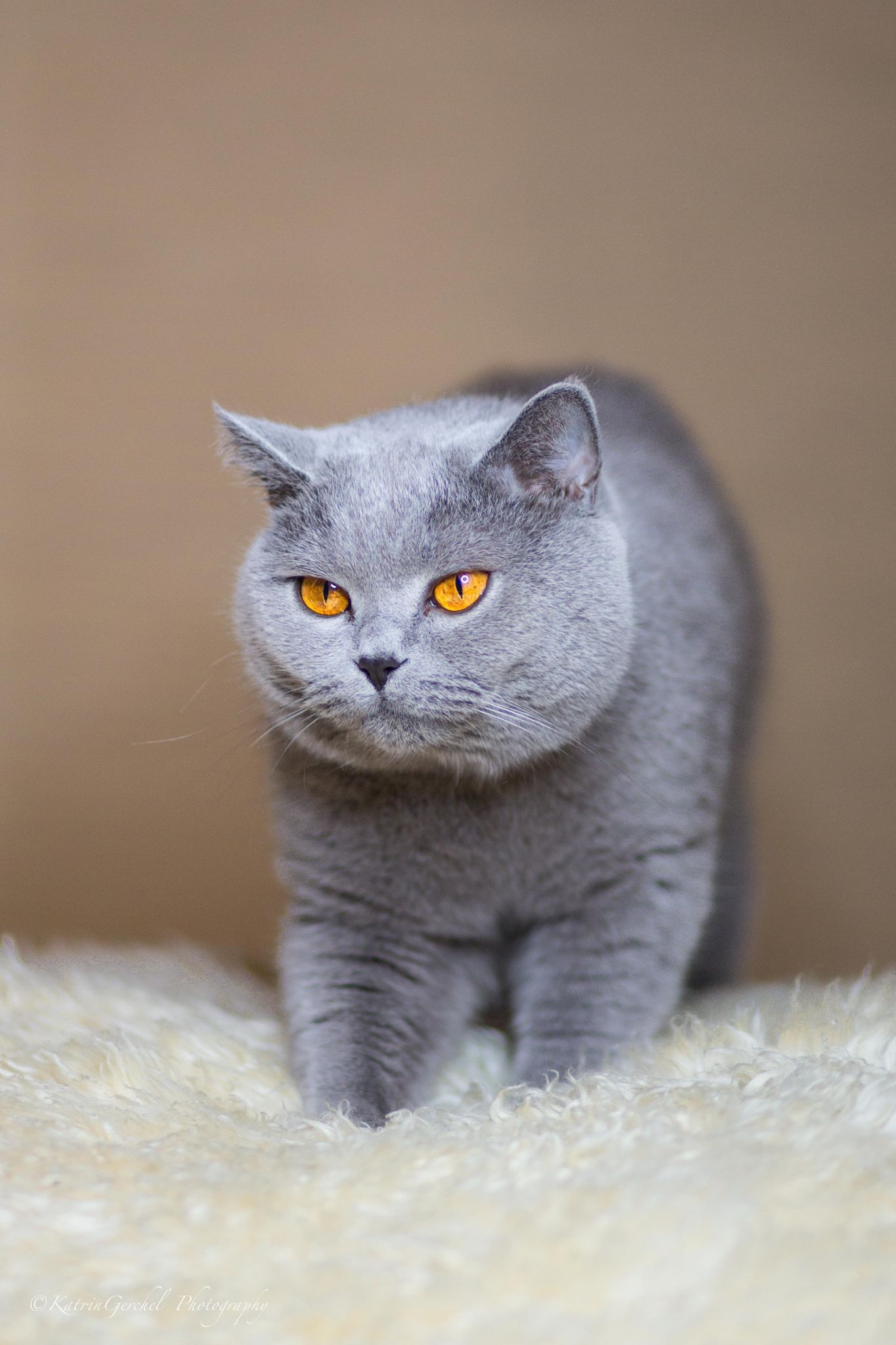 Aren T You Beautiful Cats British Shorthair Kittens Cute Cats And Kittens