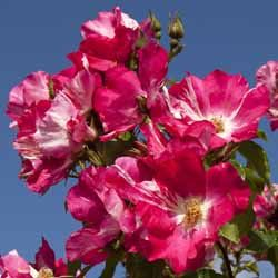 """Résultat de recherche d'images pour """"roses anciennes"""""""