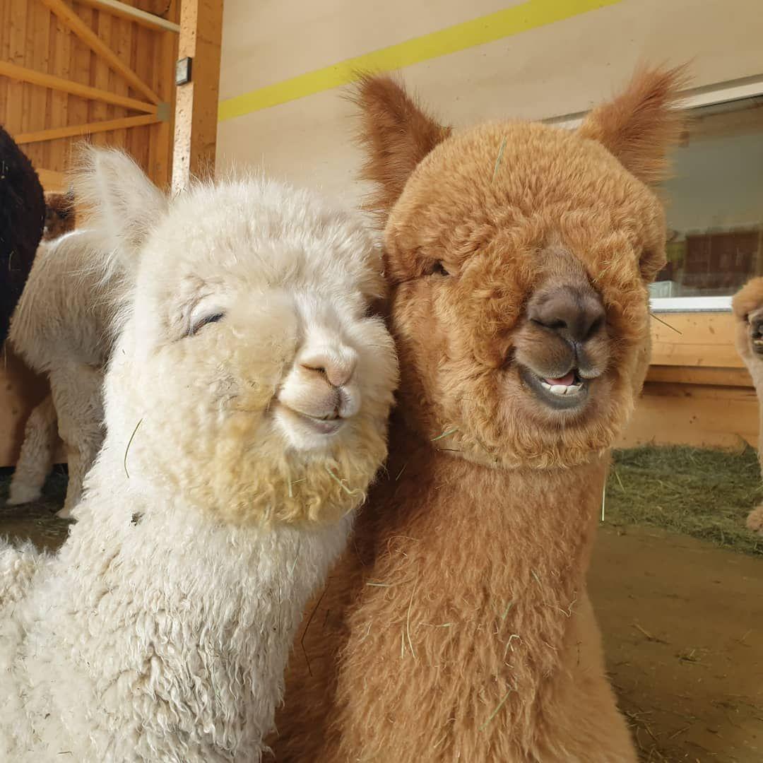 """Photo of Manuela Mayer & Dominik Wlcek on Instagram: """"Forrest Gump und Baxter – eine tolle Freundschaft! 😍  #alpaka #freundschaft #alpakaliebe #wochenende #kuschelig #süß #lächeln #alpakahof…"""""""