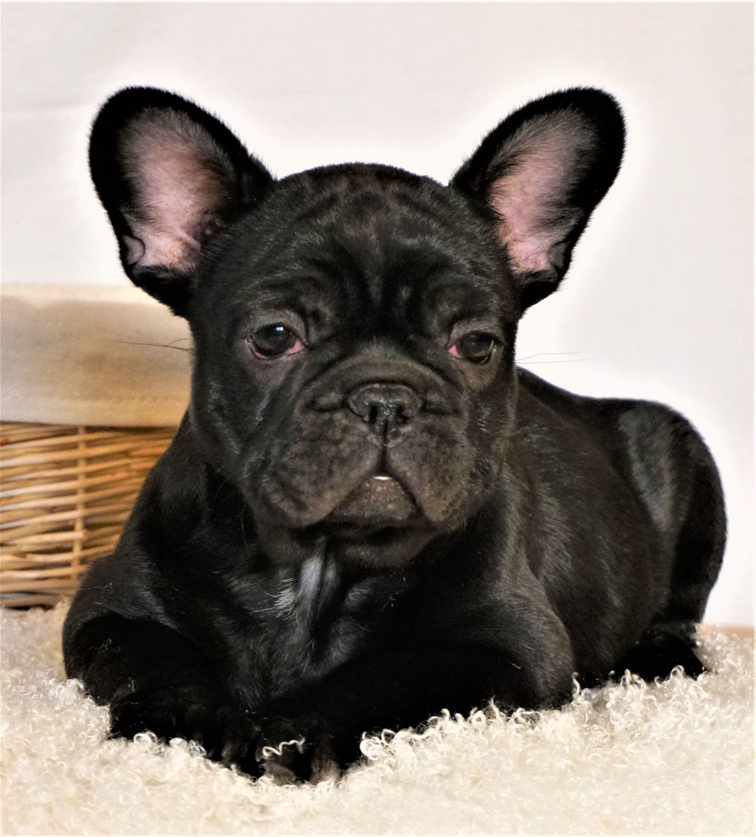 Blacky the French Bulldog waiting you. French bulldog