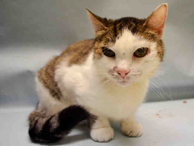 """DANIELLE - A1076465 - - Manhattan  Please Share:   **TO BE DESTROYED 06/10/16** Danielle lived with SEVENTEEN other cats, three small dogs, and a partridge in a pear tree. Okay, just kidding about the partridge, but seriously—seventeen other cats, three dogs, yet only Danielle and 2 other cats were taken to the ACC when their owner became """"too sick"""" to care for them? Something is rotten here, and it's NOT Danielle! Danielle is guesstimated to be abou"""