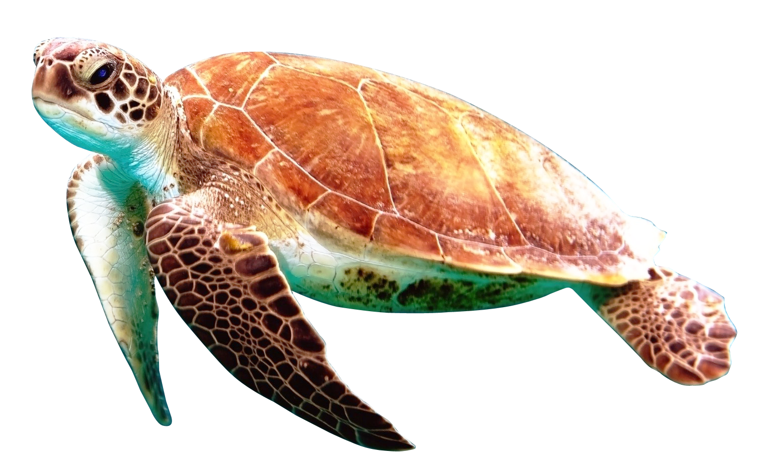 Turtle With A Very Very Very Very Very Very Very Very Long Name Mysite Turtle Animals Png Photo