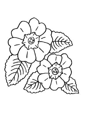 Ausmalbild Primeln Blumenzeichnung Bunte Zeichnungen Malvorlagen Blumen