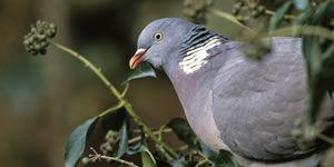 Woodpigeon feeding on ivy berries