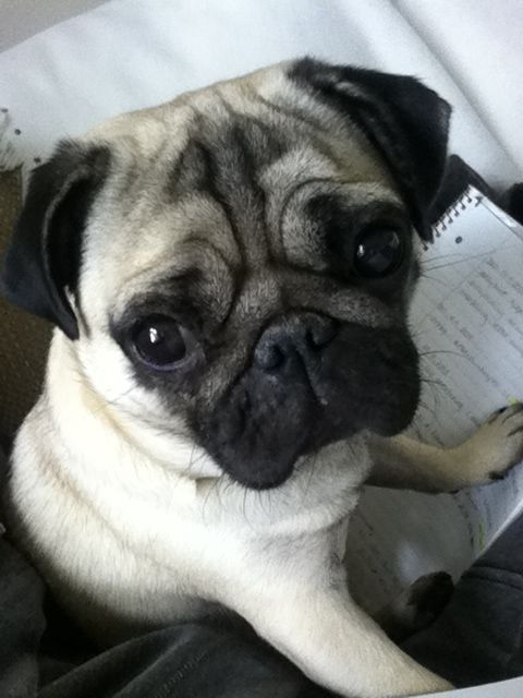 Buy Sell Pug Puppies Online Https Www Dogspuppiesforsale Com