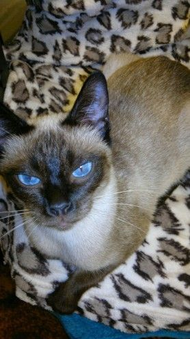 S Point Siamese Kittens Looking For A Loving Home Colchester Essex Pets4homes Siamese Kittens Kittens Kitten Adoption