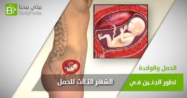شكل الجنين وحجمه والتطورات التي تحدث له خلال الشهر الثالث للحمل شاركي البوست لتعم الفائدة على صديقاتك الحوامل الجنين الح Fetal Development Fetal Development