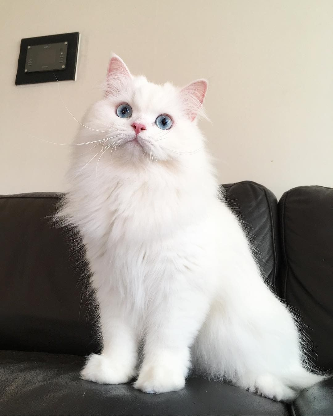 White Persian Cat Images (With images) Persian cat white
