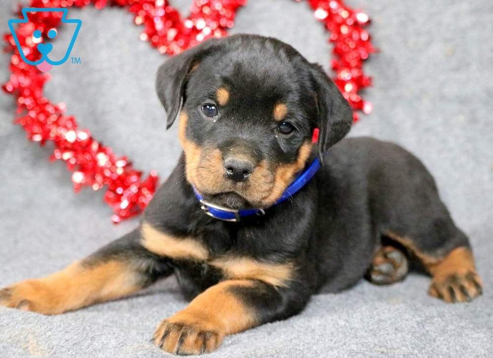Bella Rottweiler Puppies For Sale Rottweiler Puppies Puppies