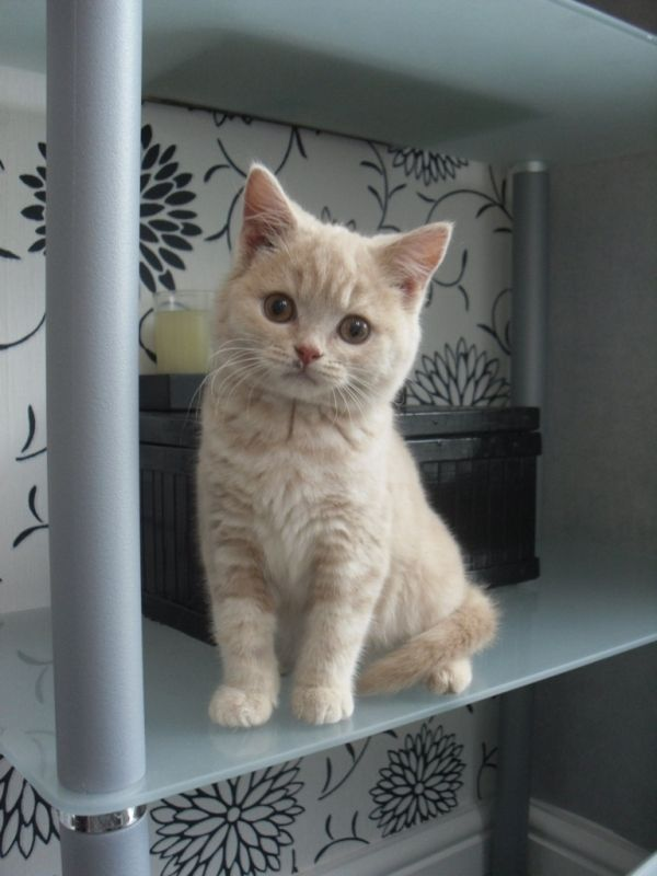 British Cream Shorthair Kitten Cat Gattini Gatti Micio