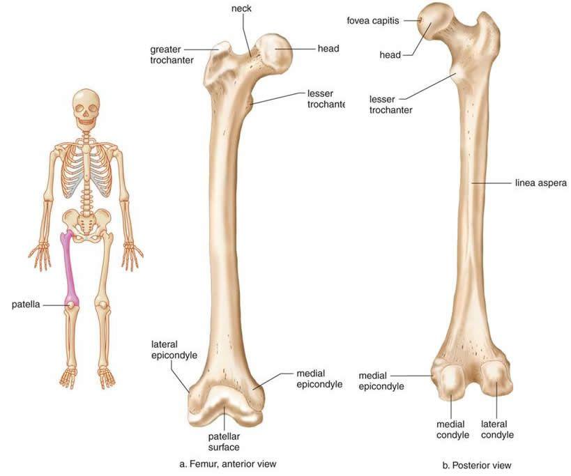 The Skeletal System | Bones | Pinterest