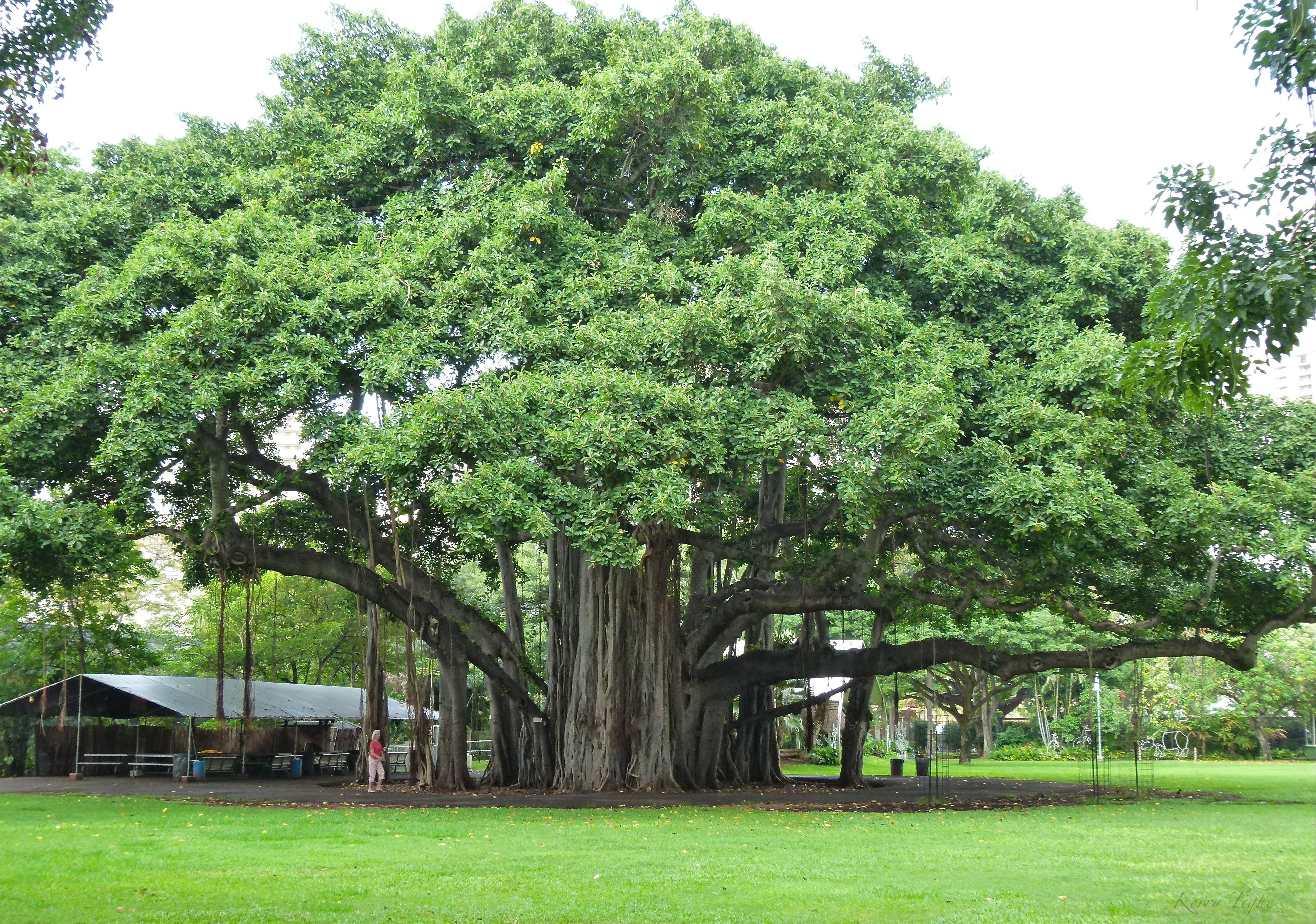 Banyan tree banyan trees my next passion ideas for the house banyan tree banyan trees my next passion fandeluxe Choice Image