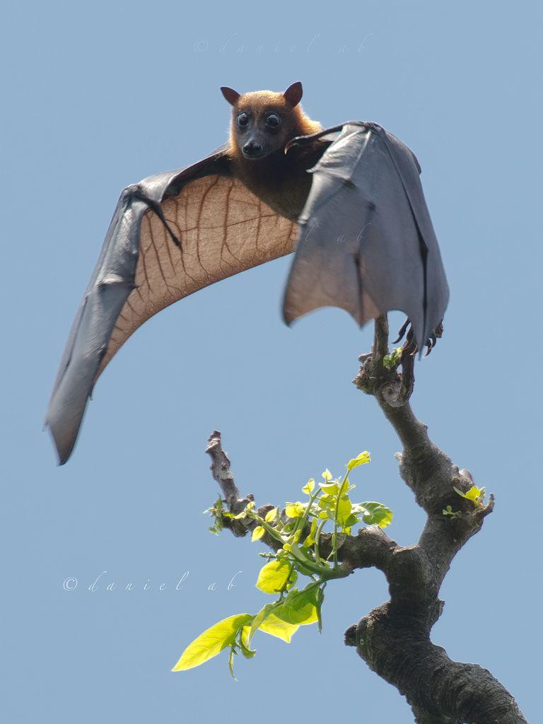 Little Fruit Bat Bat Animal Bat Flying Fruit Bat