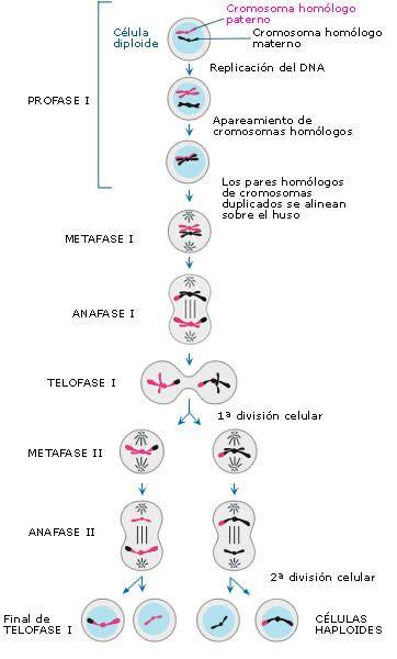 num de cromosomas y adn en cada fase division celular - Buscar con ...