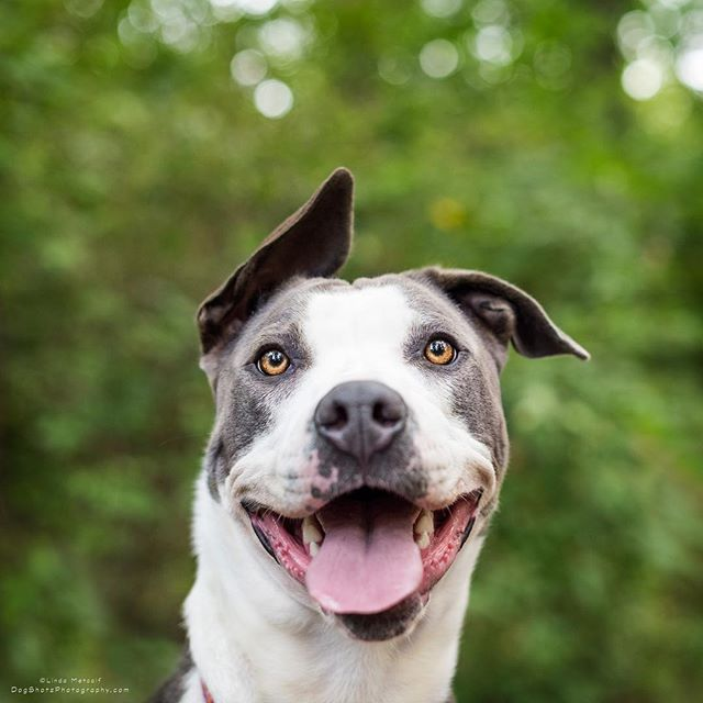 Rosa ️ ️ ️ is available now at Indy Humane. Just go meet