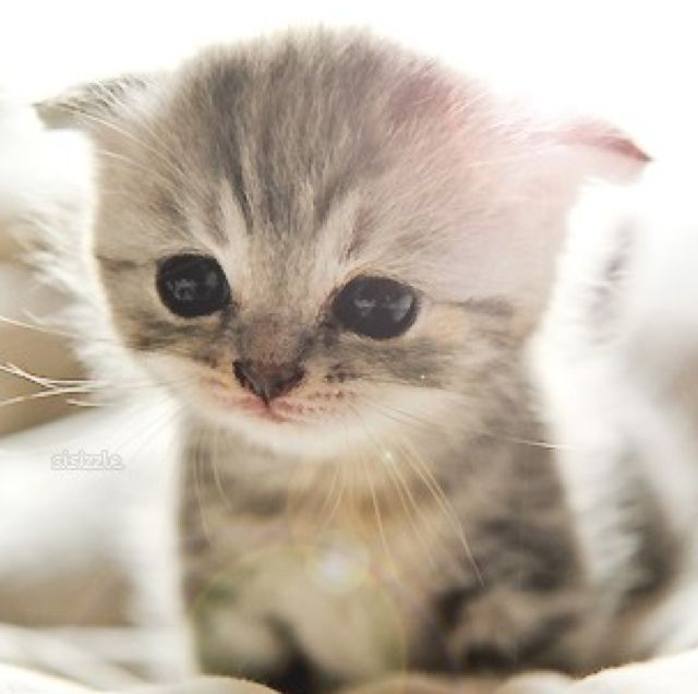 Scottish Fold Kittens, Kittens