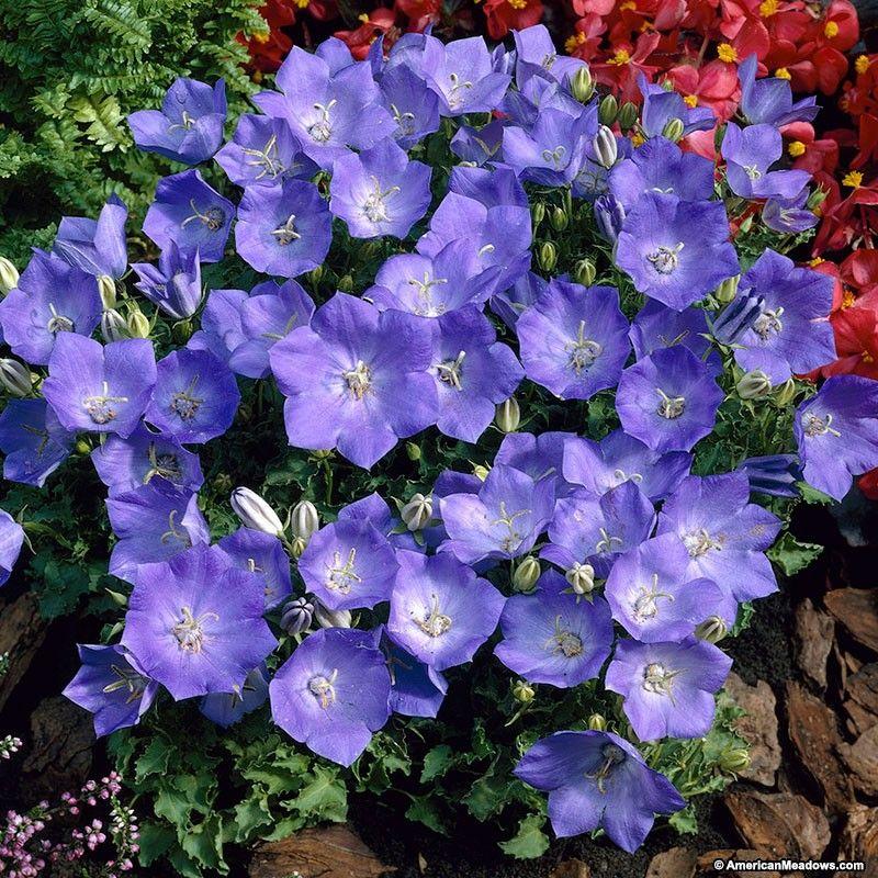 Rapido Blue Bellflower Spring Plants Perennials Bellflower