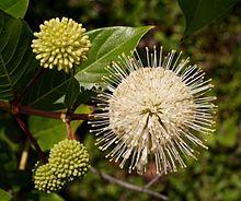 Cephalanthus occidentalis ( Buttonbush, Common Buttonbush, Button-willow and Honey-bells) native ohio shrub