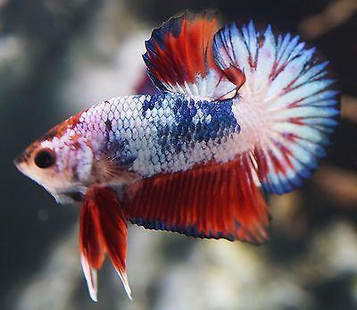Live Betta Fish Multi Color Neon Tailed Dragon Hmpk Halfmoon Plakat Male Dg022 Betta Fish Betta Tropical Fish Aquarium