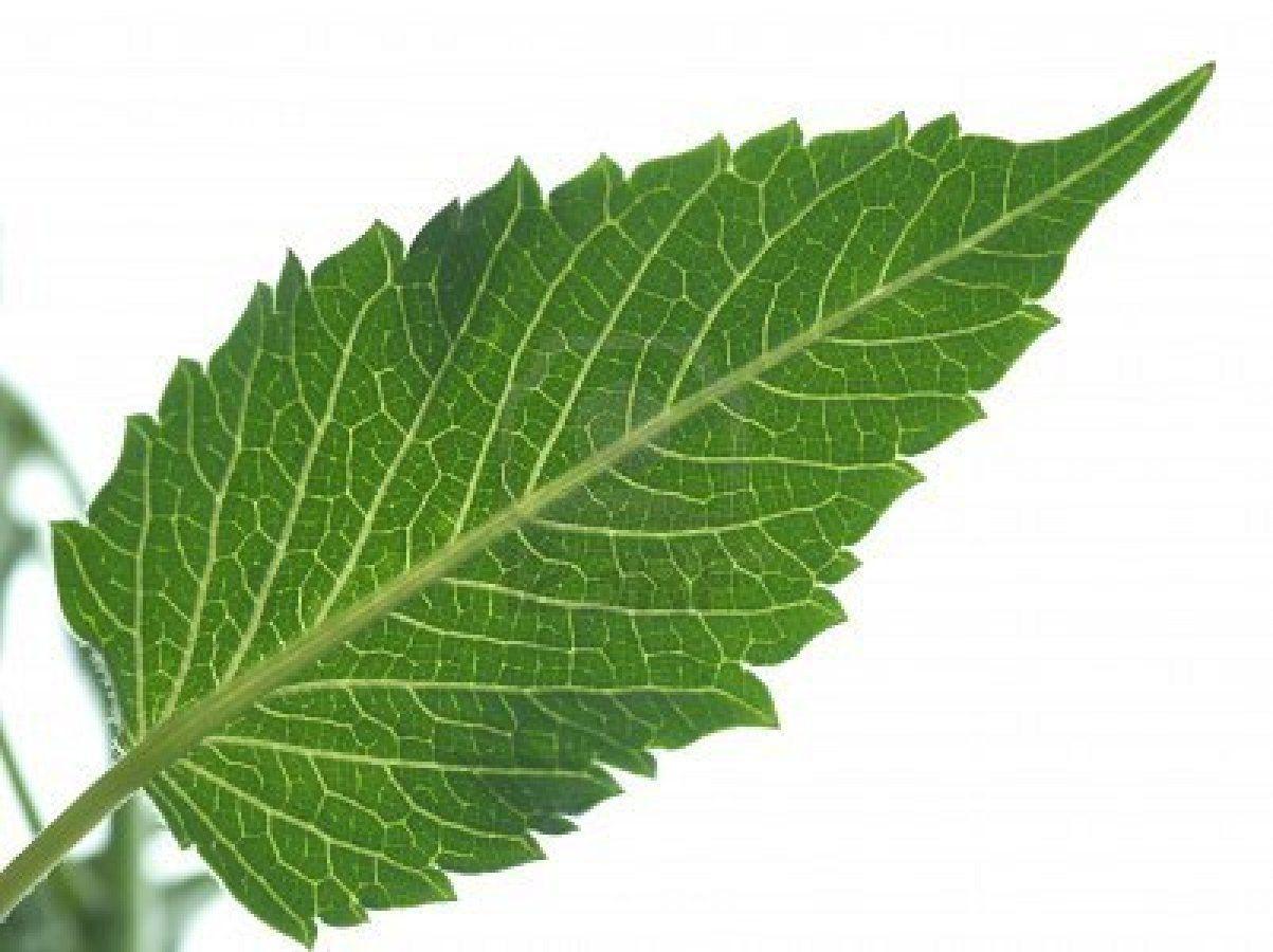 Dahlia Leaf Dahlia Flower Plant Leaves Leaves