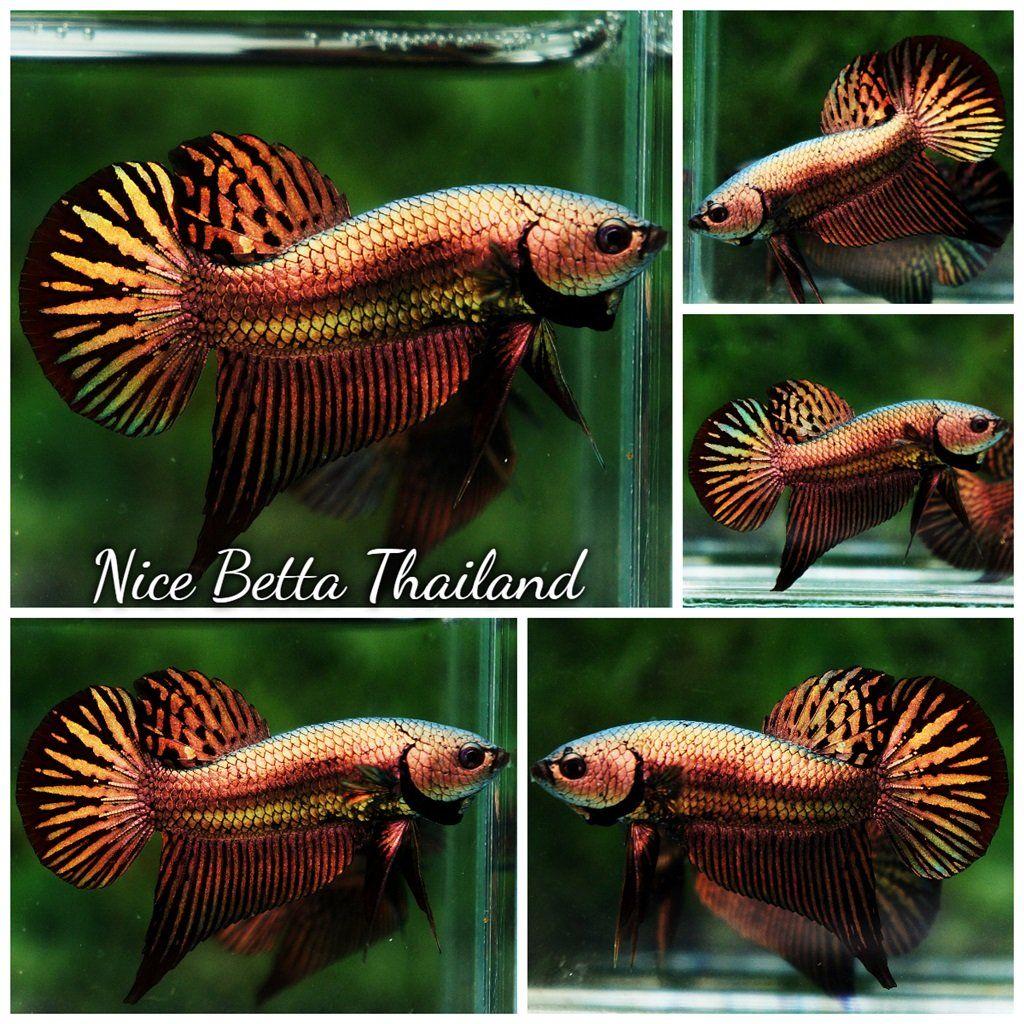 Aquabid Com Item Fwbettas1576265729 Wild Betta Fish Hybrid Sparkle Copper Gold Alien Ends Fri Dec 13 2019 Betta Betta Fish Siamese Fighting Fish