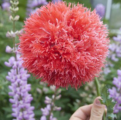 POPPY VENUS AV 350 Semi cresce Peonia come fiori