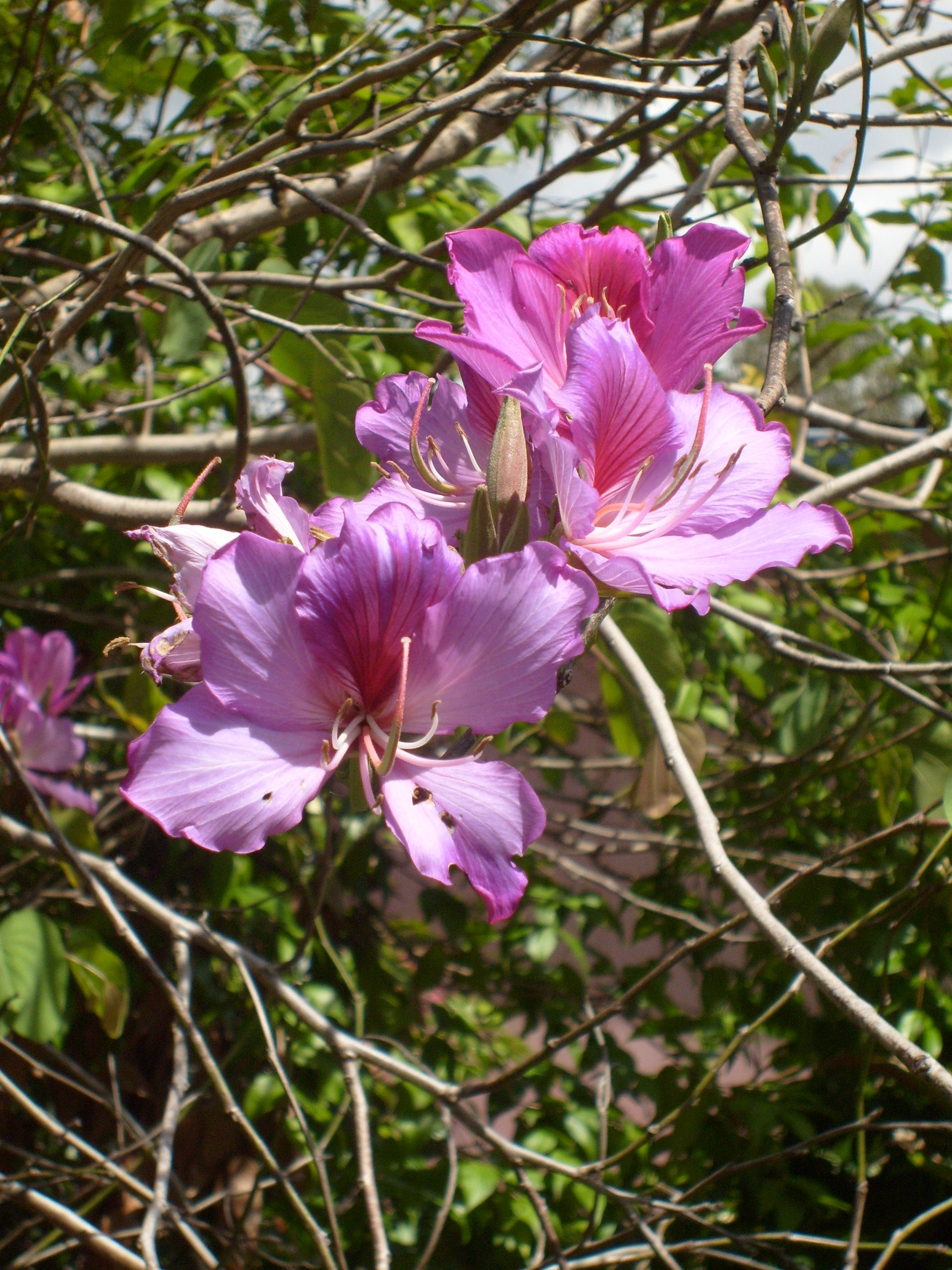 Purple Orchid Tree (Bauhinia variegata). (With images