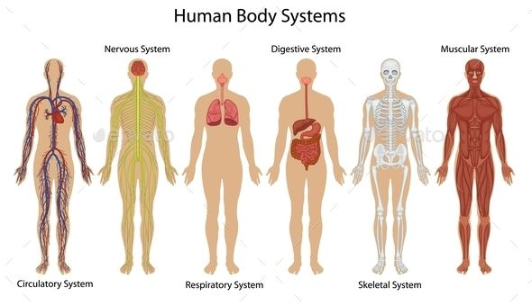 Human body systems human body systems body systems and human body touch this an interactive picturehuman body body systems the muscular system is an organ system consisting of skel by sydney roberts ccuart Image collections