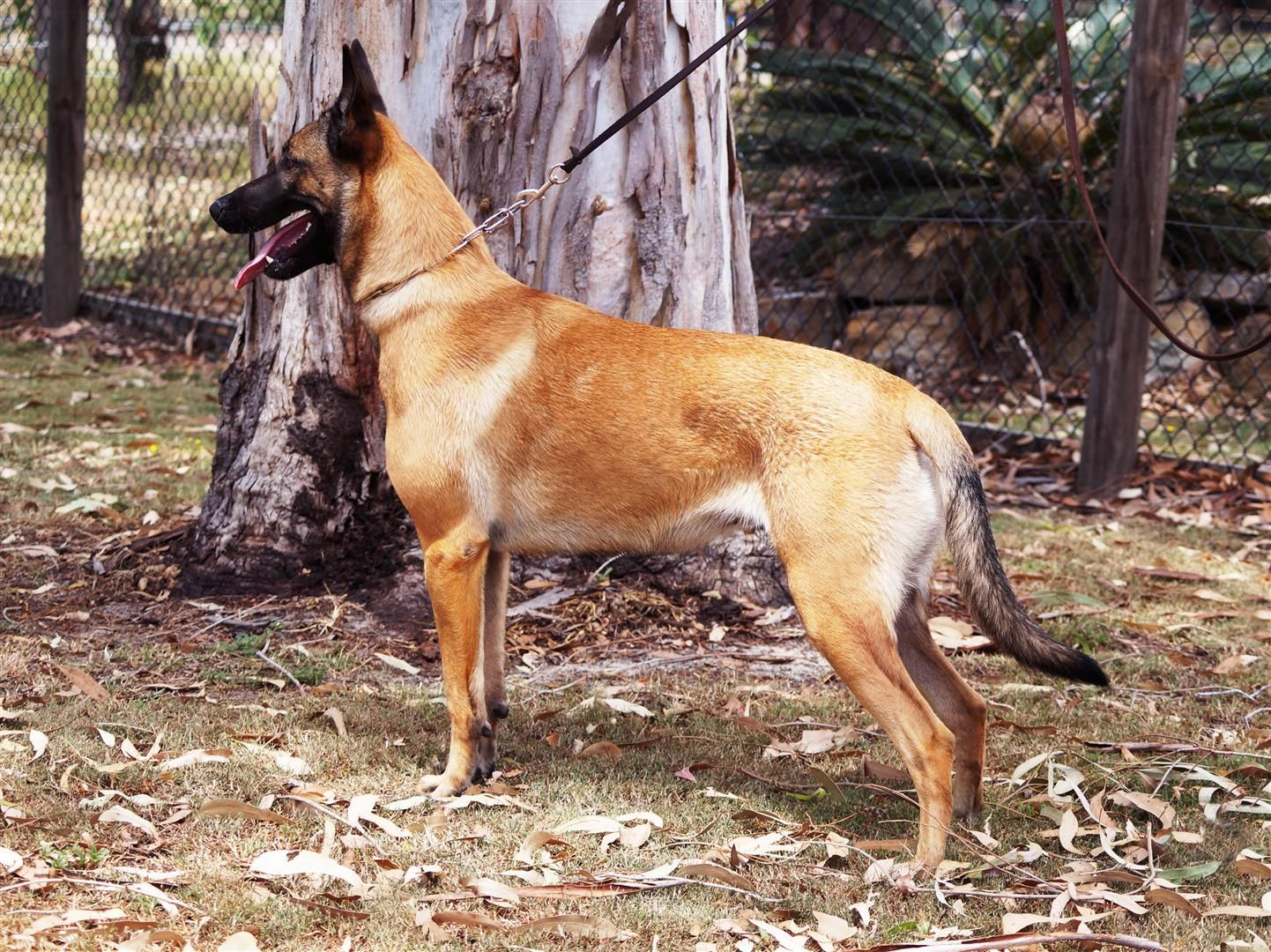 Nordenstamm Ellie Zico V D Berlex Hoeve X Lilo V D Krahenschmiede 22 Months Bh Bred Owned By Nordenstamm Malinois Dog Malinois Military Working Dogs