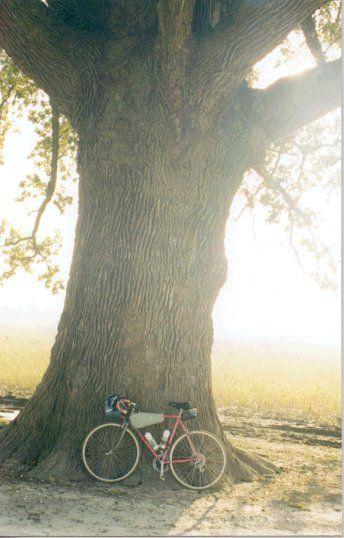 Burr Oak Near Mcbaine Katy Trail Tree Rings Trail