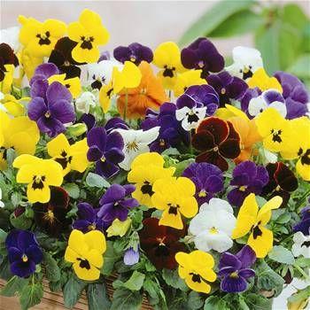 Viola Pansy Hybrids 3 Plants Bulb Flowers Plants Pansies