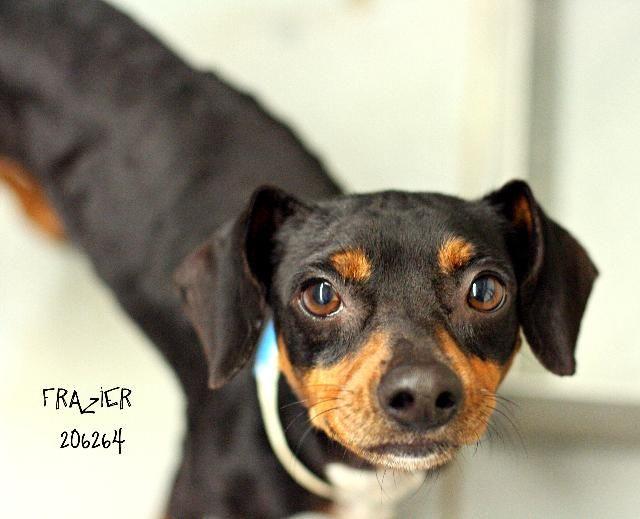 Meet Frazier A Petfinder Adoptable Chihuahua Dog Conroe Tx